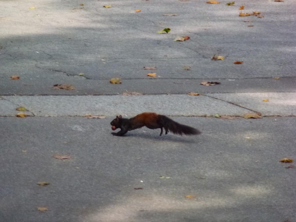 A Black Squirrel called Vermin, NOTL, Canada.  2012