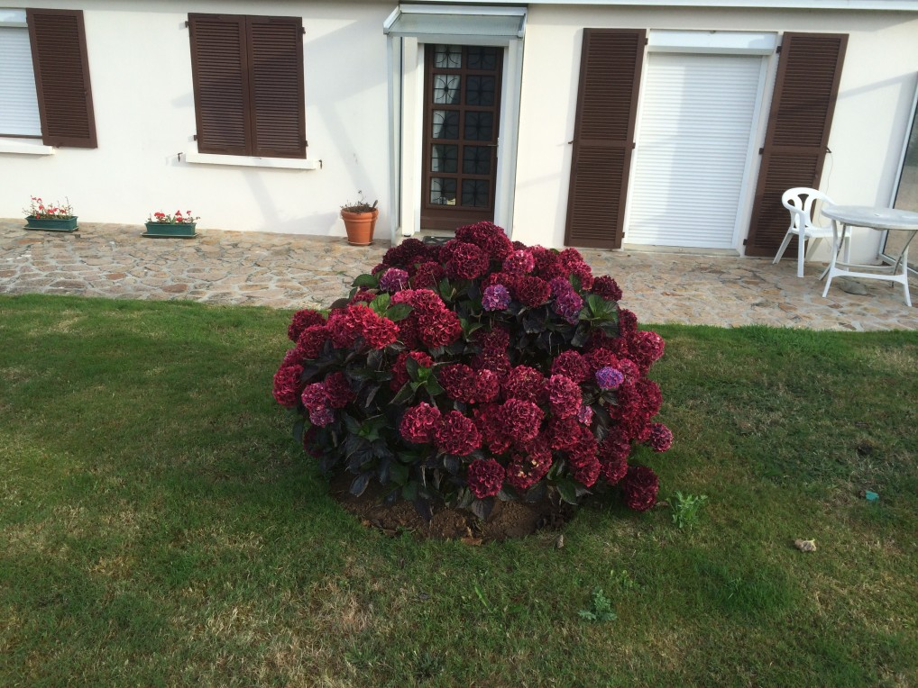 The most amazing burgundy coloured hydrangea ! ( for Norm).  Tregastel, Upper Brittany.  2014